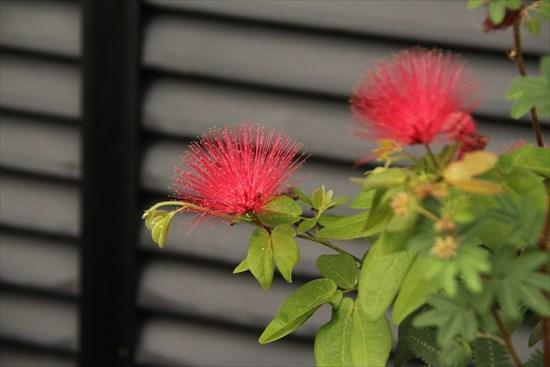 四季咲き合歓の木1
