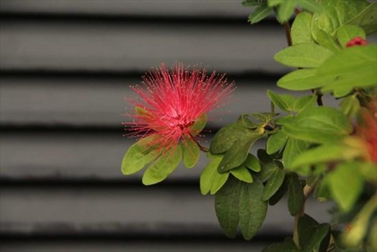 四季咲き合歓の木