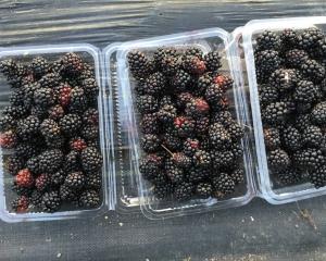 0720ブラックベリーの収穫