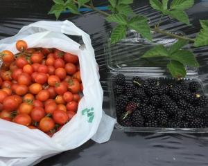 ブラックベリー最後の収穫