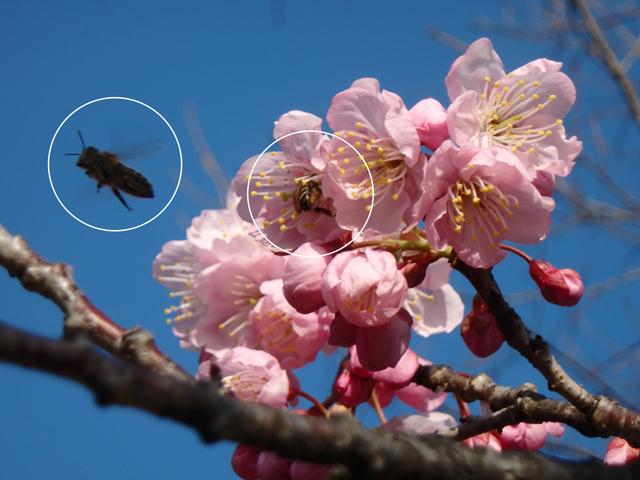 カンザクラとミツバチ