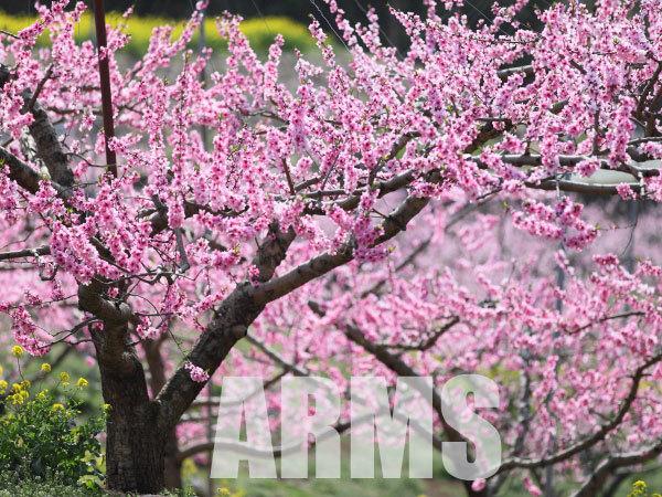 桃源郷 桃の花