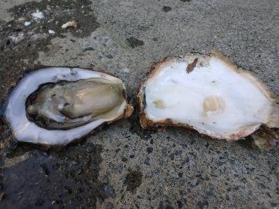 剥きたての岩牡蠣