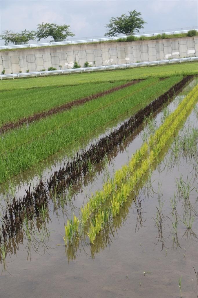 すぐ近くの田圃には古代米が植えられていた_1