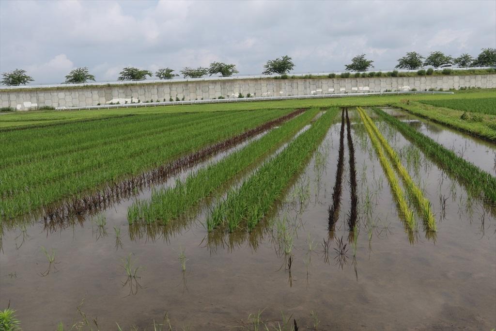 すぐ近くの田圃には古代米が植えられていた_2