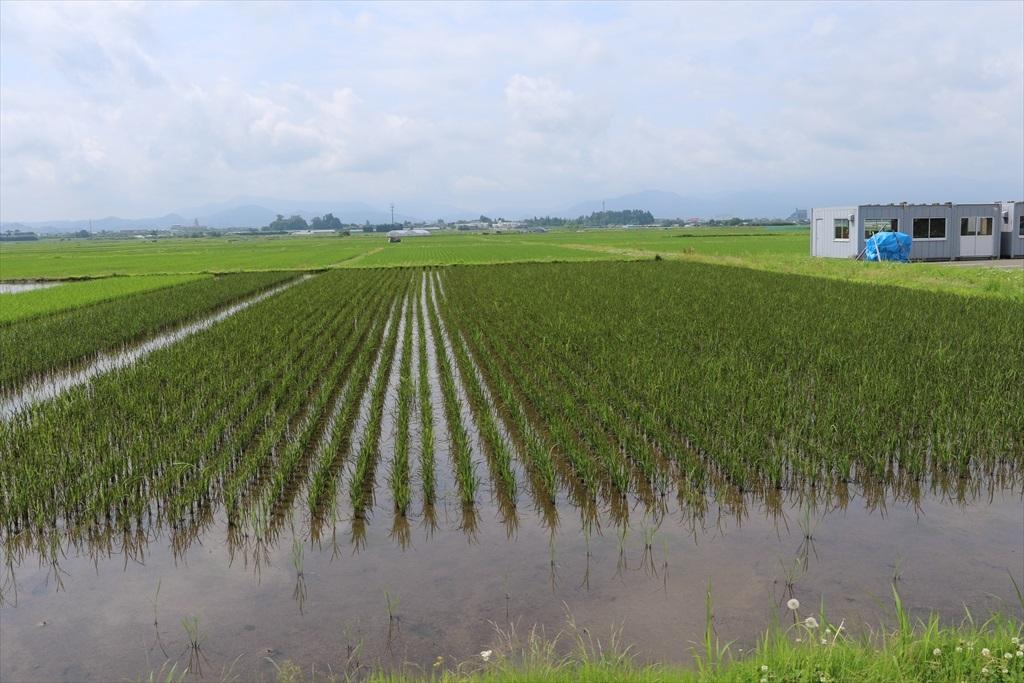 すぐ近くの田圃には古代米が植えられていた_4