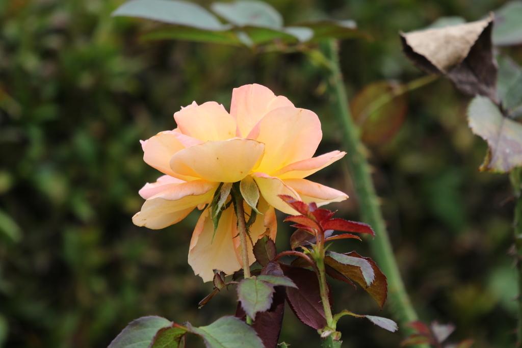 僅かに咲いていた薔薇_1