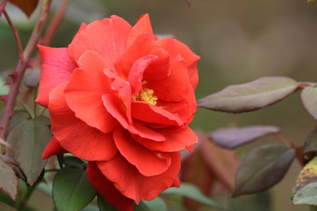 僅かに咲いていた薔薇_2