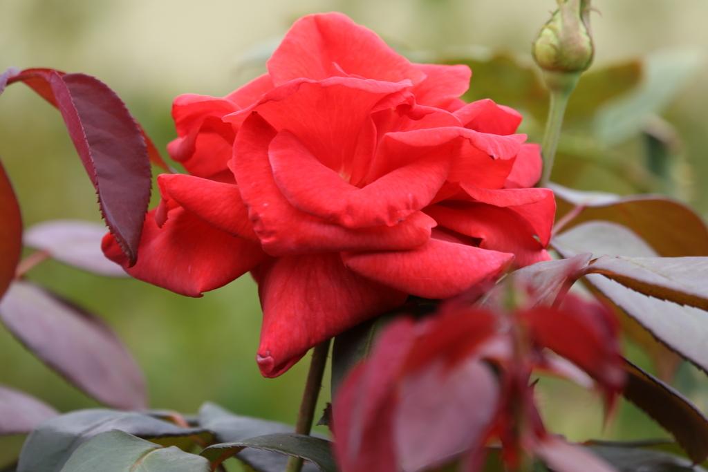 僅かに咲いていた薔薇_3