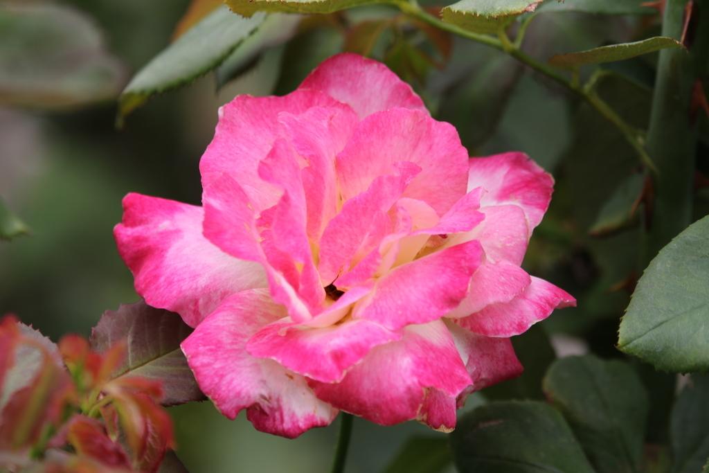 僅かに咲いていた薔薇_4