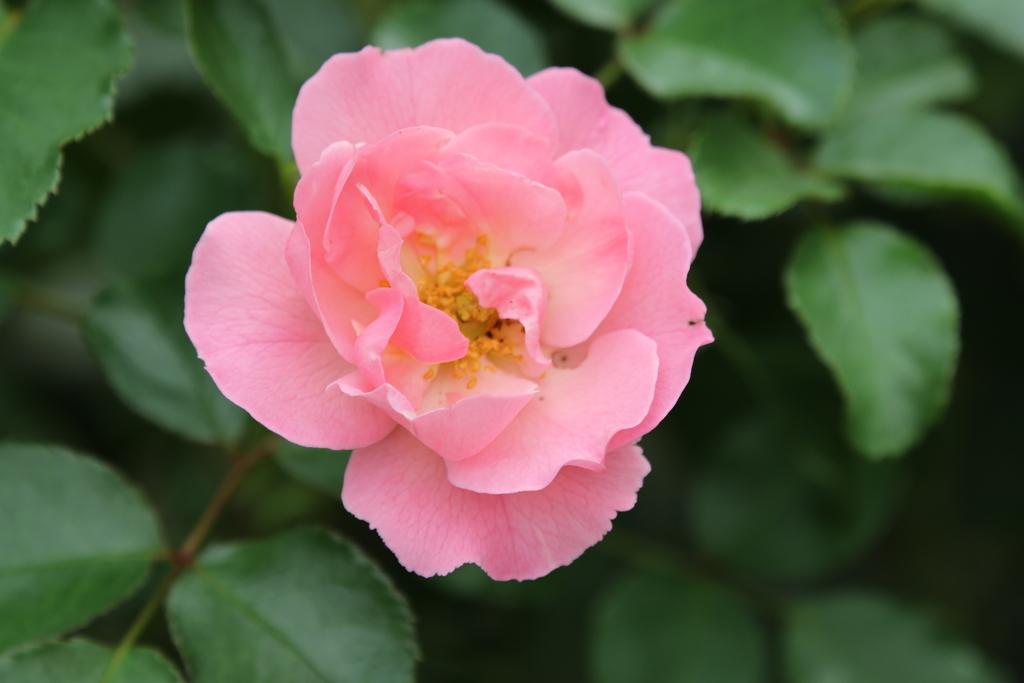 僅かに咲いていた薔薇_5