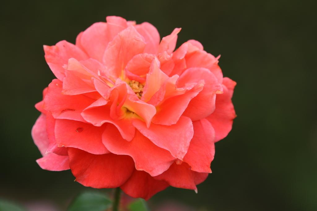僅かに咲いていた薔薇_6