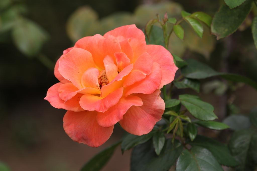 僅かに咲いていた薔薇_7