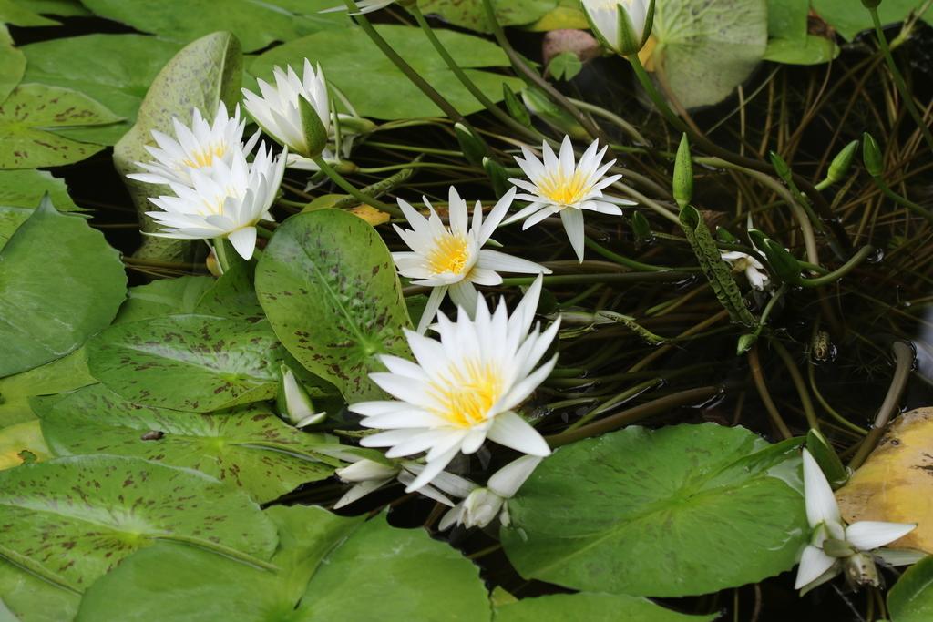 睡蓮の花_1