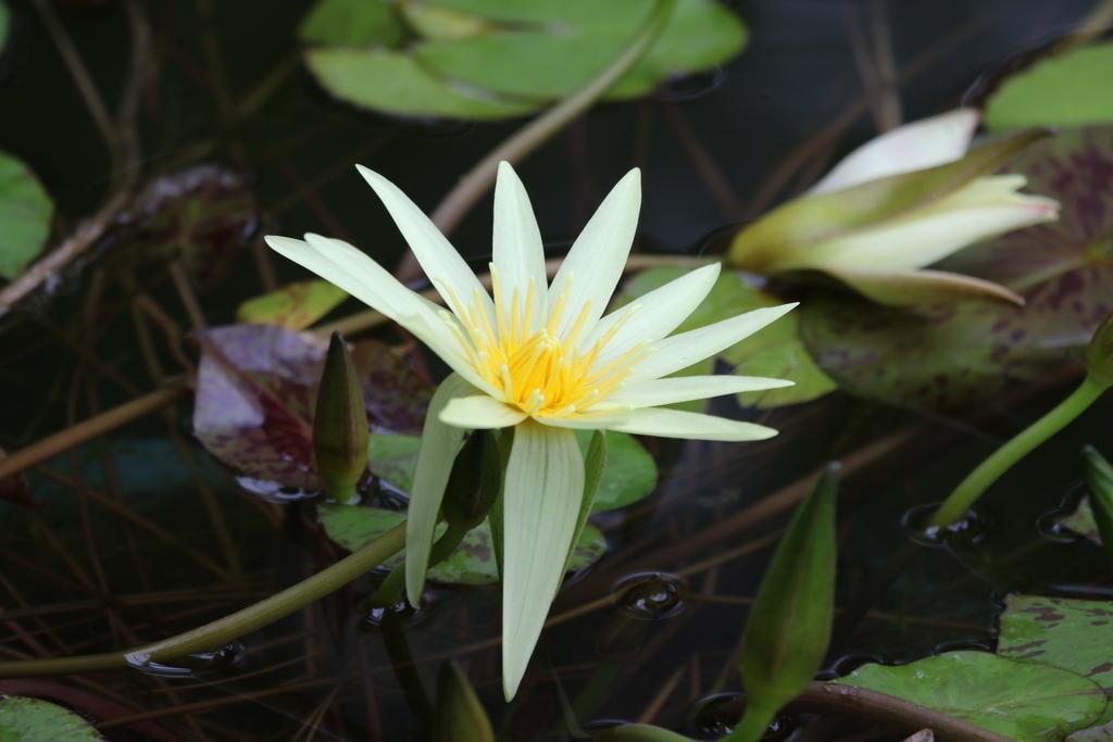 睡蓮の花_3