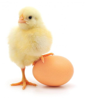 Chickens egg (2)