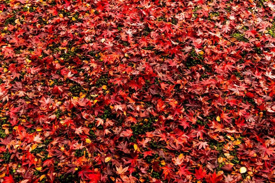 2018.11.13天徳院の紅葉1 (2)