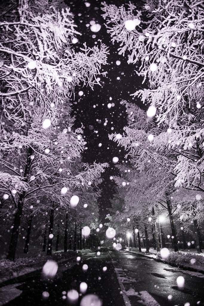 2019.01.26メタセコイヤ並木の雪景色 1 (7)