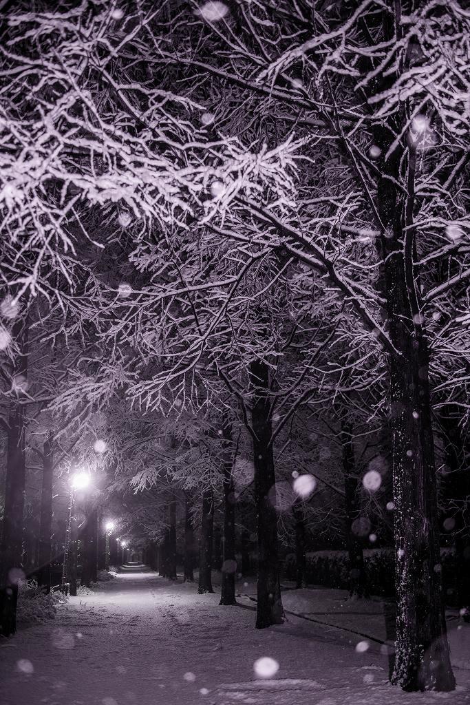 2019.01.26メタセコイヤ並木の雪景色 1 (9)