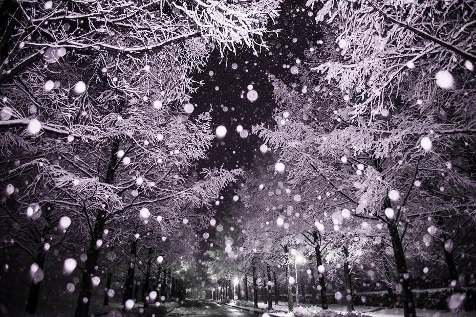 2019.01.26メタセコイヤ並木の雪景色 1 (4)