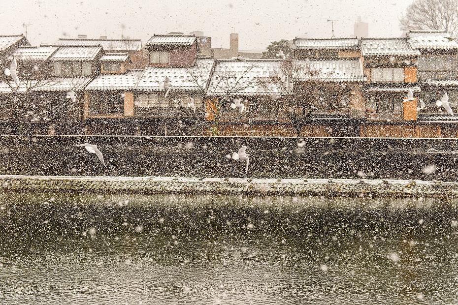 2019.01.29雪の主計町とユリカモメ 1 (7)