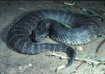 CSIRO_ScienceImage_3990_Death_Adder.jpg