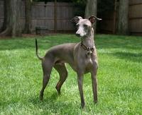 330px-Italian_Greyhound_standing_gray.jpg