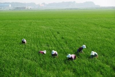 農業・農家・稲穂・水田・外国人研修・仕事・田舎の画像