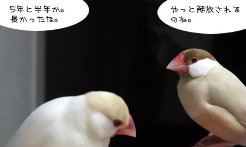 文鳥昼メロ劇場_6