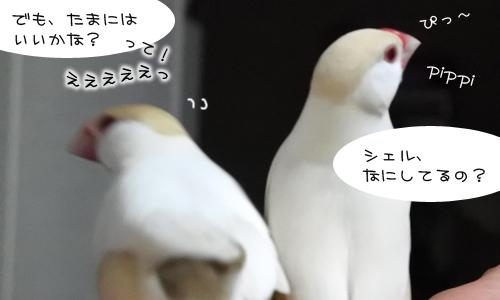 文鳥昼メロ劇場_8