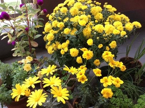 20151030黄色い花