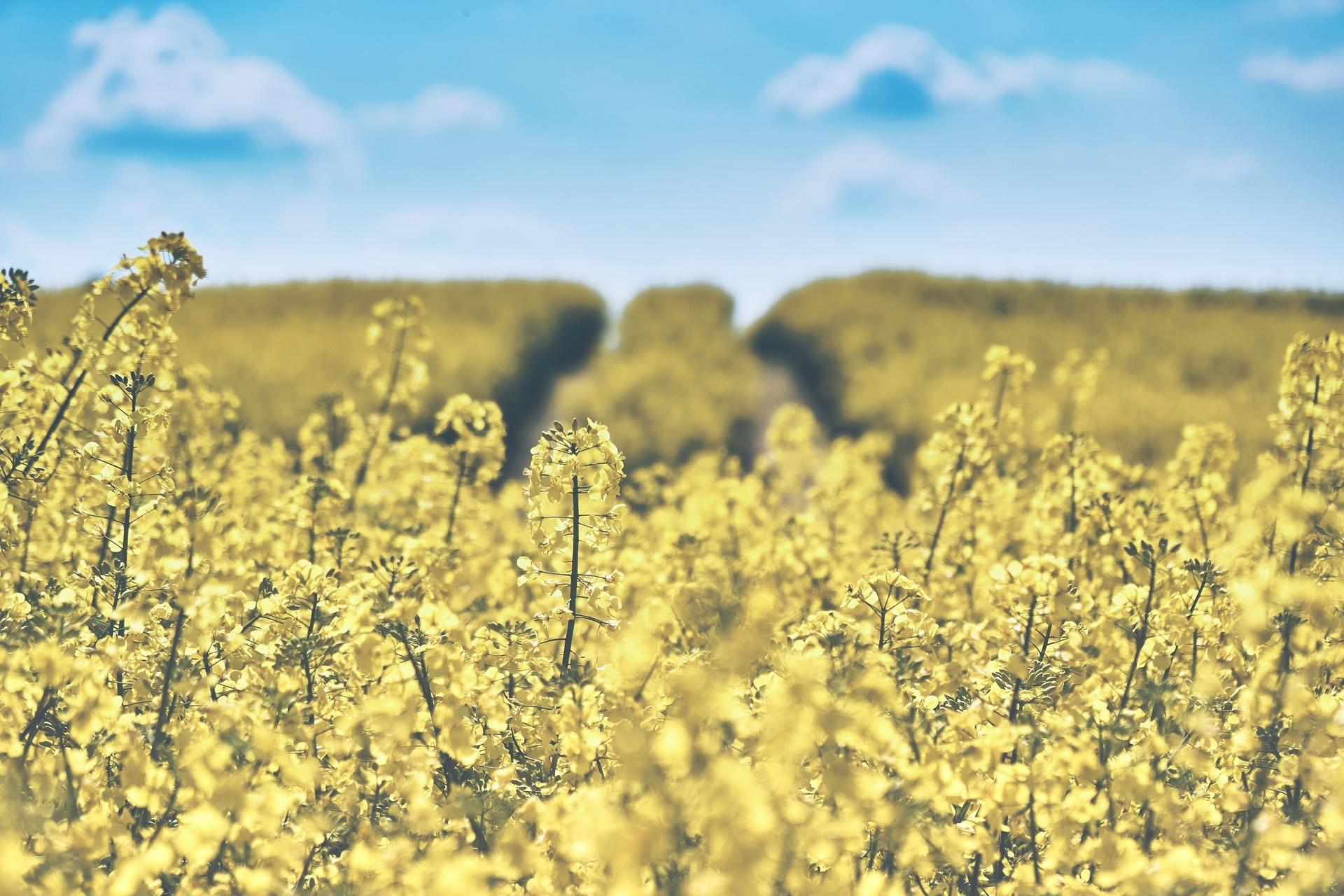 field-of-rapeseeds-1433380_1920.jpg