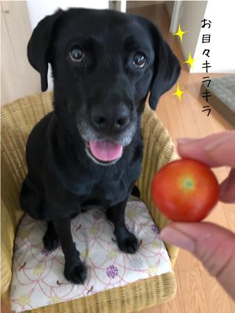 トマトとラブラドール