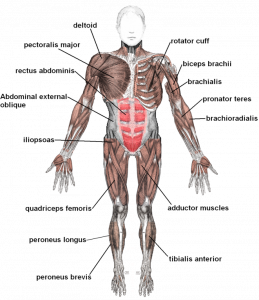 661px-Muscles_anterior_labeled_20170818050050eca.png