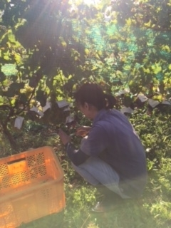 2017 09 21 Wa Yawata Ch 収穫-2