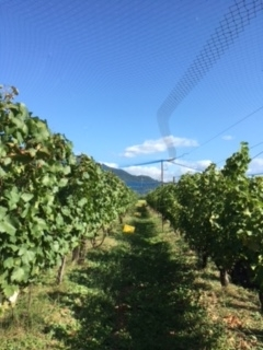 2017 09 21 Wa Yawata Ch 収穫-14