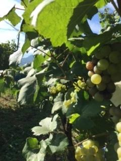 2017 09 21 Wa Yawata Ch 収穫-15