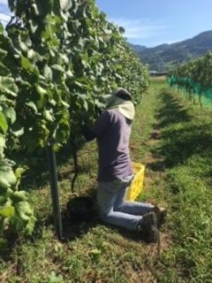2017 09 21 Wa Yawata Ch 収穫-24