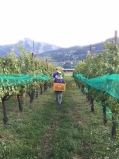 2017 09 21 Wa Yawata Ch 収穫-25