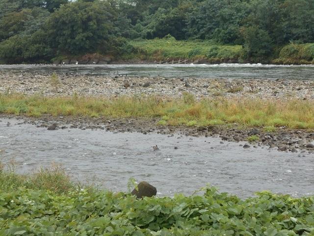 DSCN30790923富士機械裏の利根川のウの大群.jpg