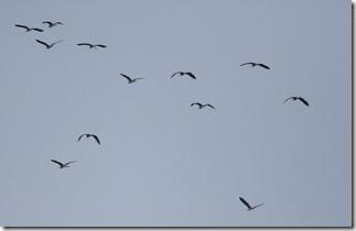 170720001群れで飛翔中のアオサギ(鵲)