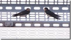 170720009休息するツバメ(若鳥)