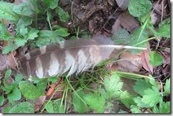 170720011道路そばで見かけたフクロウの羽
