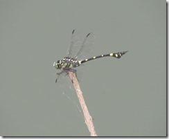170720018ため池で見かけたタイワンウチワヤンマ_thumb