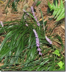 170828020紫色が美しいヤブラン