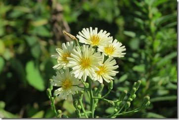 170828021咲き始めたアキノノゲシ