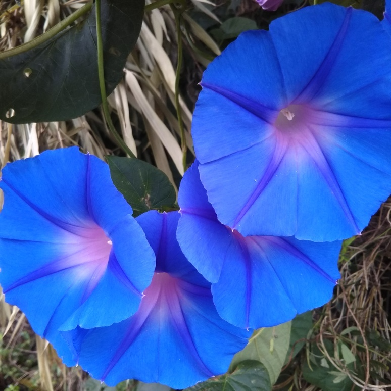 Morning glory Cape Town Blue 20170923-2