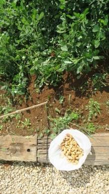 落花生一株ためし抜きの収穫と抜き跡