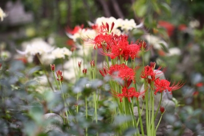 紅白咲き揃いb_1