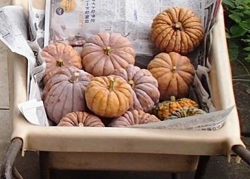 雑司ヶ谷かぼちゃ 収穫